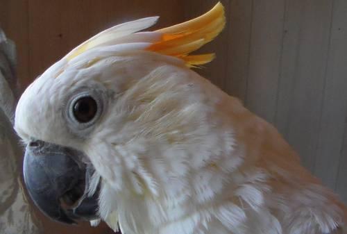 Citron cockatoo - photo#26