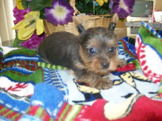 CKC Purebred Yorkie Yorkshire Terrier Male - Gray