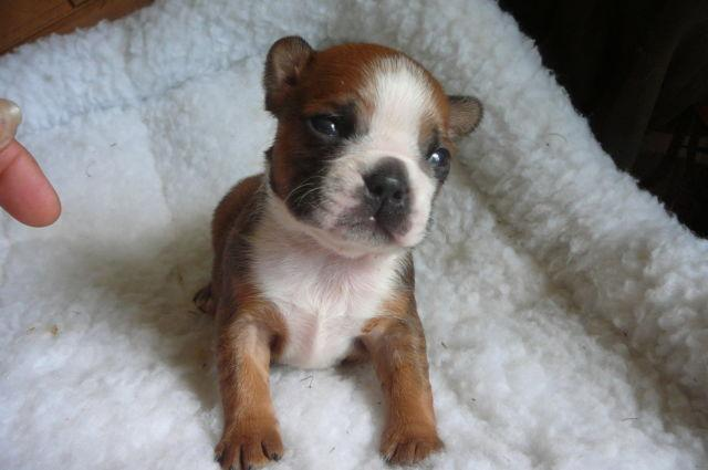 Ckc Registered Fawn Pug Puppies