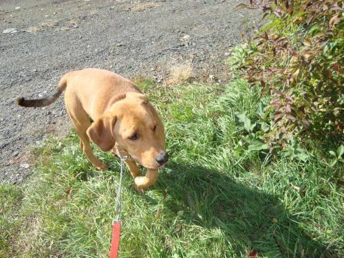 Coonhound - Dom - Large - Adult - Male - Dog