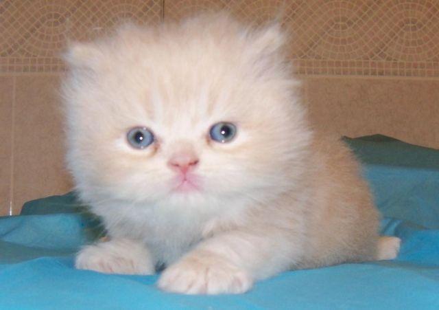 Cream Male Teacup Persian Kittens Sale Brooklyn New York Stroudsburg In Brooklyn New York New York Daily Ads