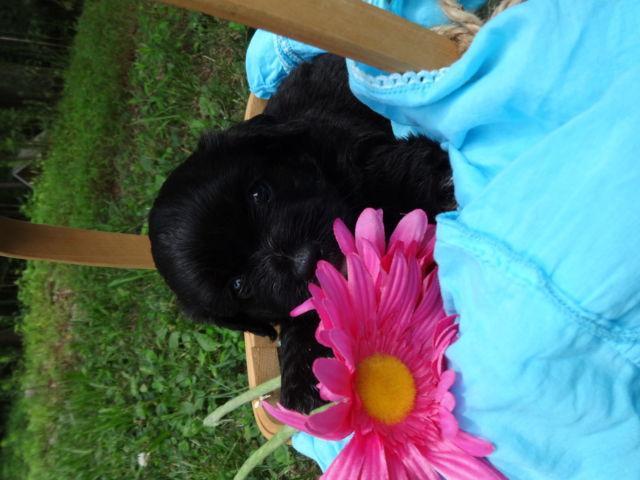 Cute AKC Havanese Puppies for Sale in Bethel, Pennsylvania