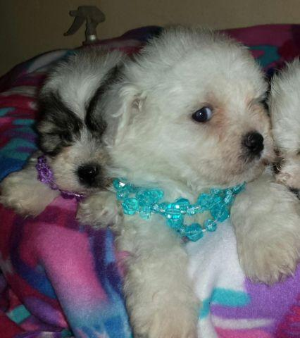 ** CUTEST EVER SHICHON Puppies **NEW YEARS TREAT !**