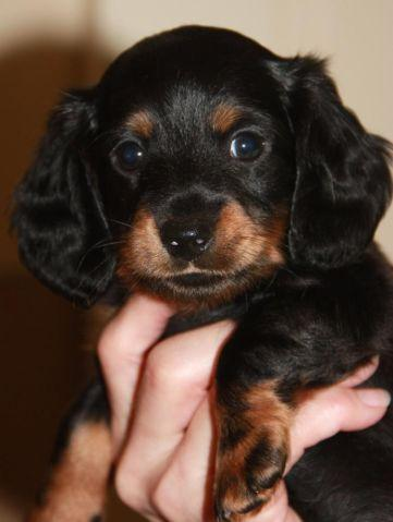 Darling mini-dachshund puppy for sale to loving home!