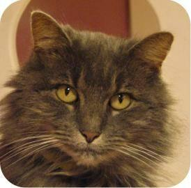 Domestic Long Hair - Clarissa - Medium - Adult - Female - Cat