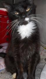 Domestic Long Hair - Oreo - Medium - Adult - Female - Cat