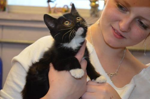 Domestic Medium Hair - Oreo - Medium - Baby - Female - Cat