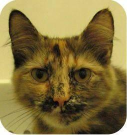 Domestic Medium Hair - Vega - Medium - Young - Female - Cat