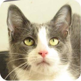 Domestic Short Hair - Angie - Medium - Adult - Female - Cat