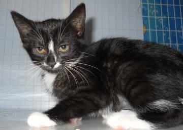 Domestic Short Hair - Azula - Medium - Baby - Female - Cat