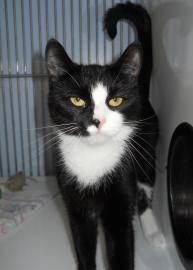 Domestic Short Hair - Bertha - Medium - Adult - Female - Cat
