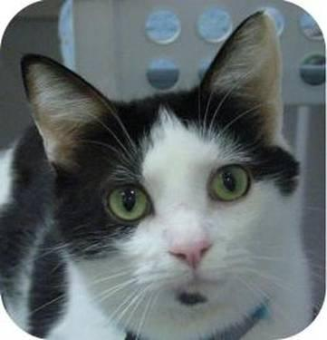 Domestic Short Hair - Black and white - Duffy - Large - Adult