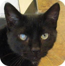 Domestic Short Hair - Black - Newman - Small - Adult - Male