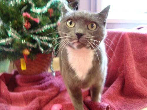 Domestic Short Hair - Cynder - Medium - Adult - Female - Cat