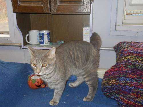 Domestic Short Hair - Hobbs - Large - Young - Male - Cat