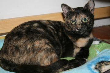 Domestic Short Hair - Lego - Small - Young - Female - Cat