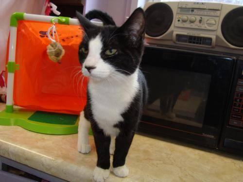 Domestic Short Hair - Moxy - Medium - Young - Female - Cat