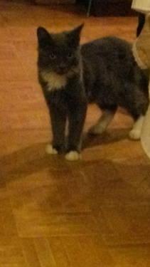 Domestic Short Hair - Nugget - Medium - Baby - Male - Cat