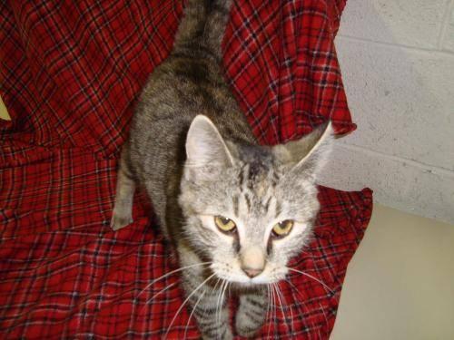 Domestic Short Hair - Raisin - Medium - Young - Female - Cat