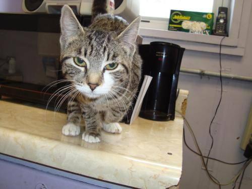 Domestic Short Hair - Trudi - Medium - Baby - Female - Cat