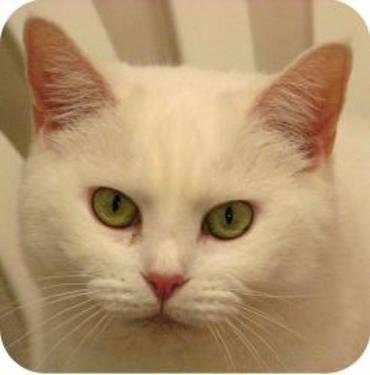 Domestic Short Hair - White - Lilly - Medium - Adult - Female