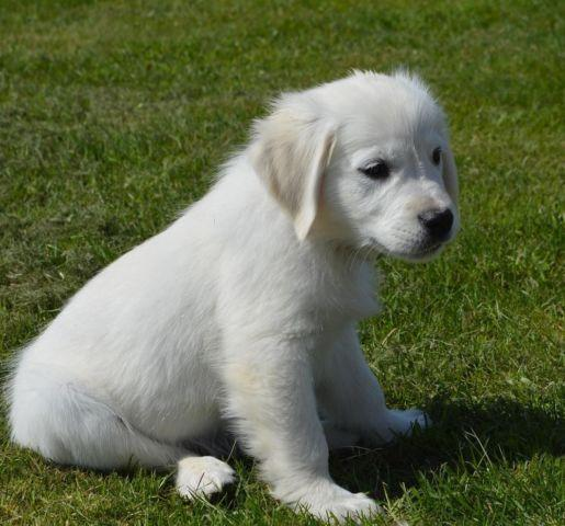 English Golden Retriever Puppy Imported 10+ Champion Lines