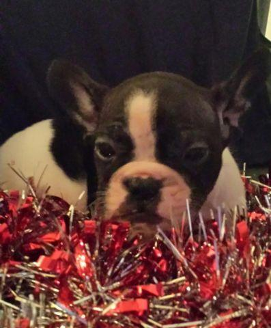 Ever wanted a frenchie without the frenchie price??? **Delivery avail*