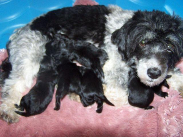 F1 Havapoo puppies in NY in Spencerport, New York | New York