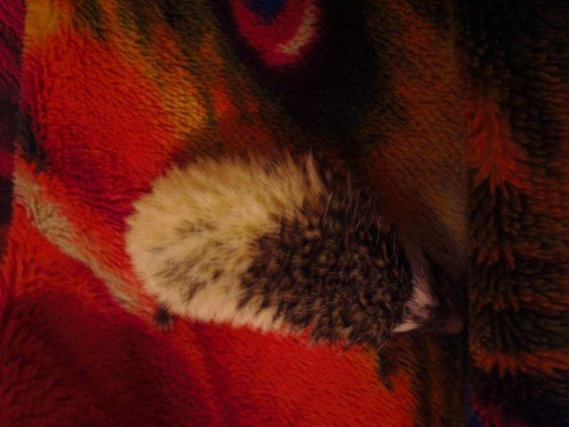 Female black pinto hedgehog, baby