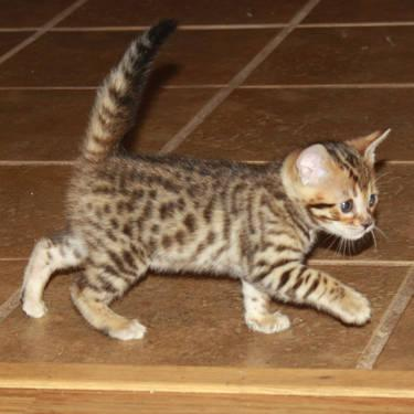 Female Brown Rosetted Bengal Kittens for sale