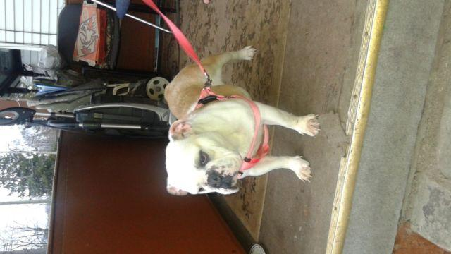 Female English Bulldog $500