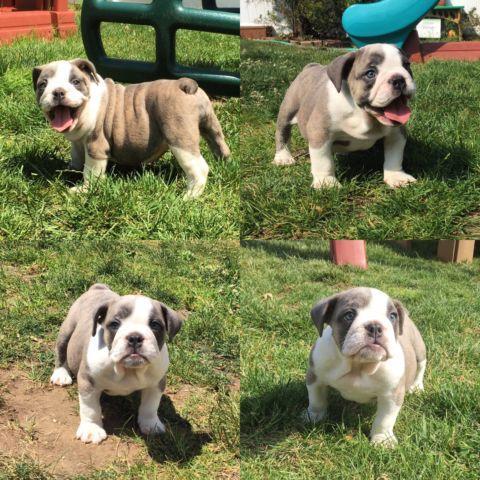 Female puppy - $250