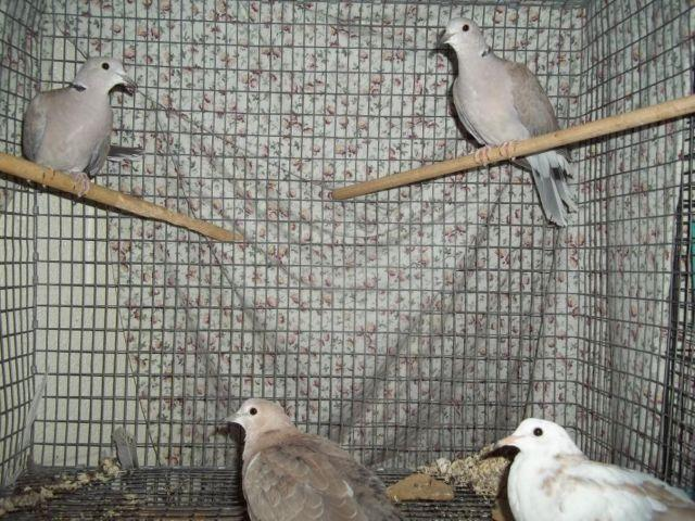 FOR SALE: RING NECKED DOVES- 6 OF THEM DUNDEE NY