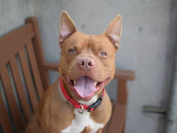 Friendly playful amstaff pup Dingledwarf in danger@Brklyn kill shelter