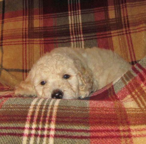 Goldendoodle Puppies F1b Family Raised Non Shedding In
