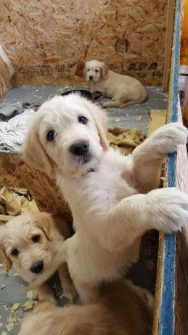 Goldendoodle puppy last one