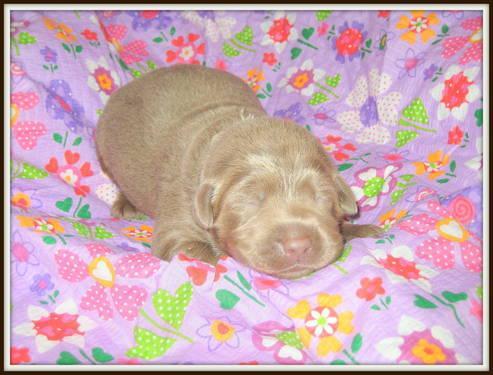 ***Gorgeous AKC SIlver Labrador Puppies!!!***