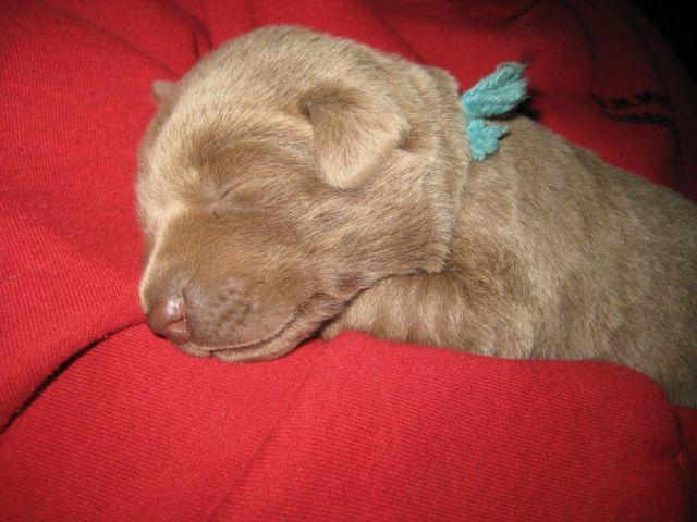 ***Gorgeous AKC Silver Labrador Retriever Puppies!!! Females***