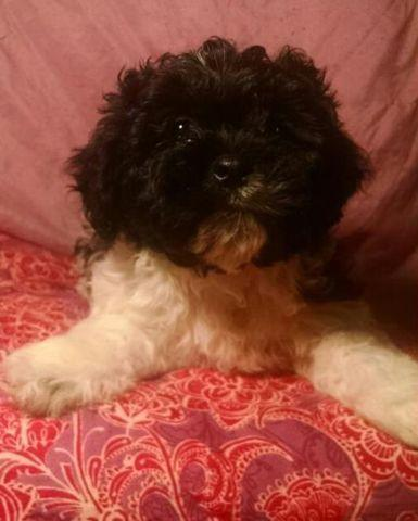 ** GORGEOUS little Cav-a poo puppy! **NEW YEARS SPECIAL!