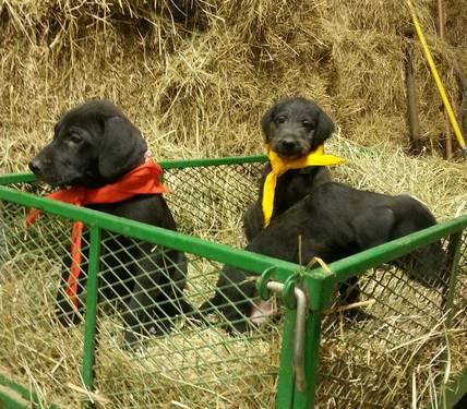 Great Doodle (Great Dane/Standard Poodle mix) puppies for Sale in