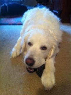 Great Pyrenees - Snowball - Extra Large - Young - Male - Dog