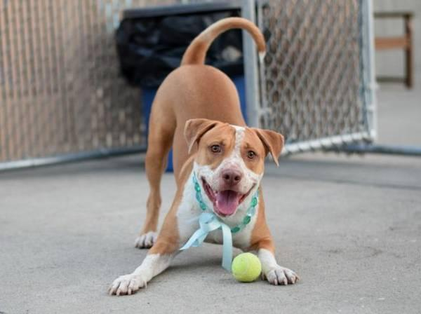 Handsome friendly amstaff pup King in danger@Brooklyn kill shelter