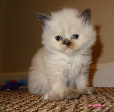 Himalayan kittens for sale rochester ny