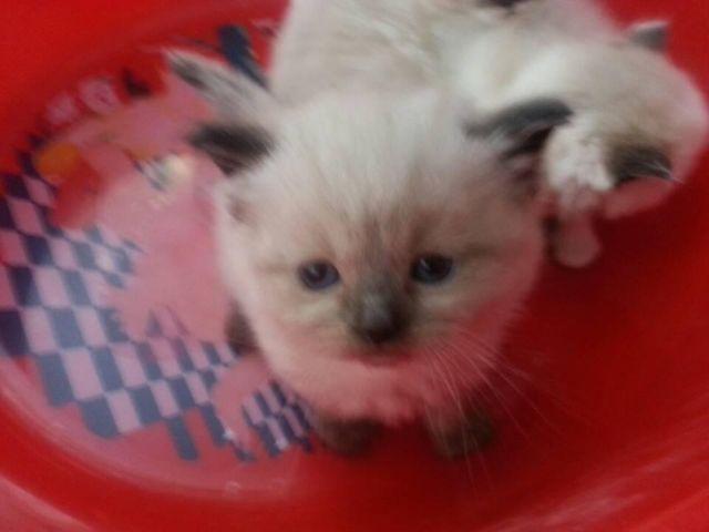Himilain kitten