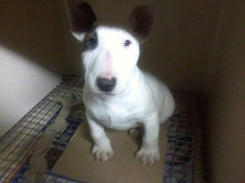 bull terrier puppies for sale in pa ica reg miniature bull terrier puppies 4 sale 1164