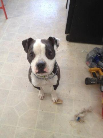 in need of a good home pitbull/ american bulldog