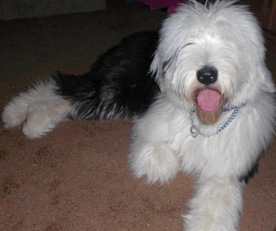 IOEBA olde english bulldogge puppies for sale