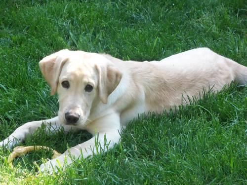Labrador Retriever Puppies For Sale in Rochester, NY