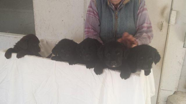 Labradoodle f1b puppies