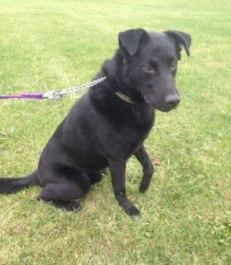 Labrador Retriever - Charlie - Medium - Adult - Male - Dog